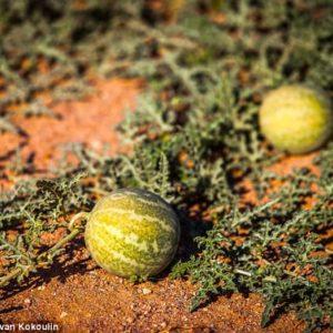 melon du Kalahari